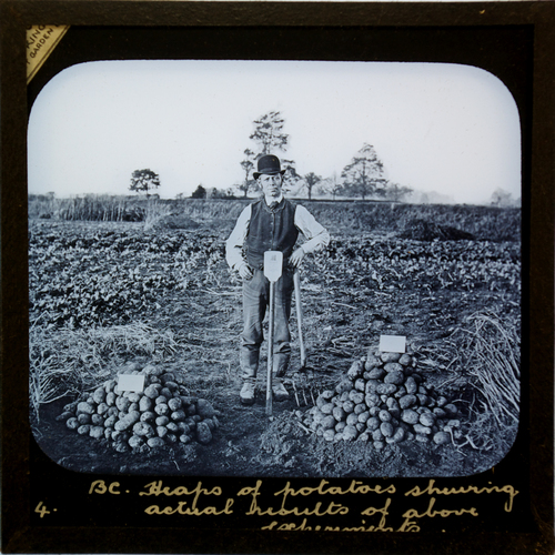 latern slide showing potato harvest